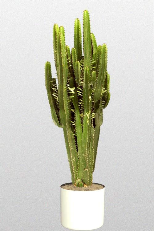 Cactus  Euphorbiaa