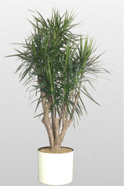 Dracaena Cincta Stump