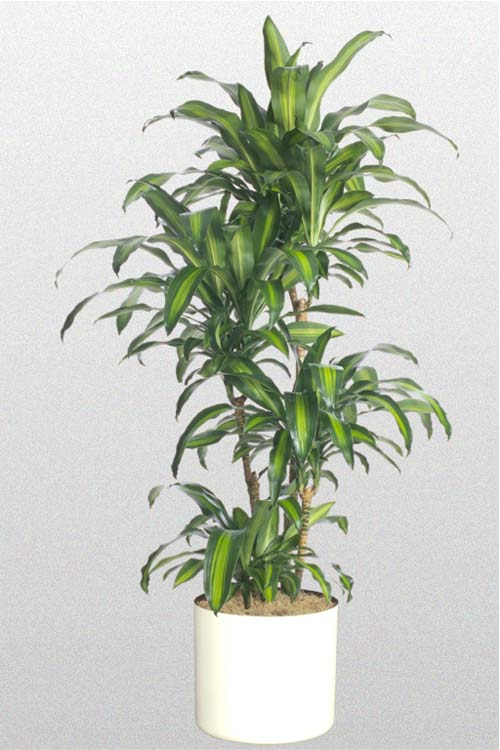 Dracaena  Fragrans Massangeana Hawaiian Cane