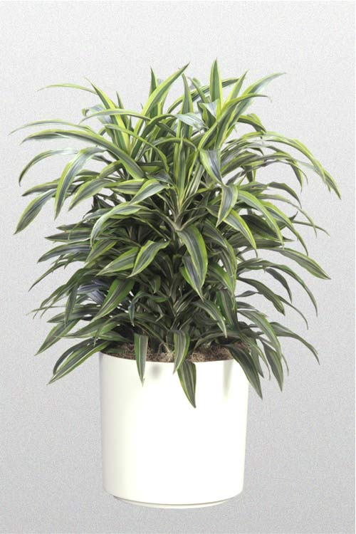 Dracaena Warneckil Lemon Lime Bush