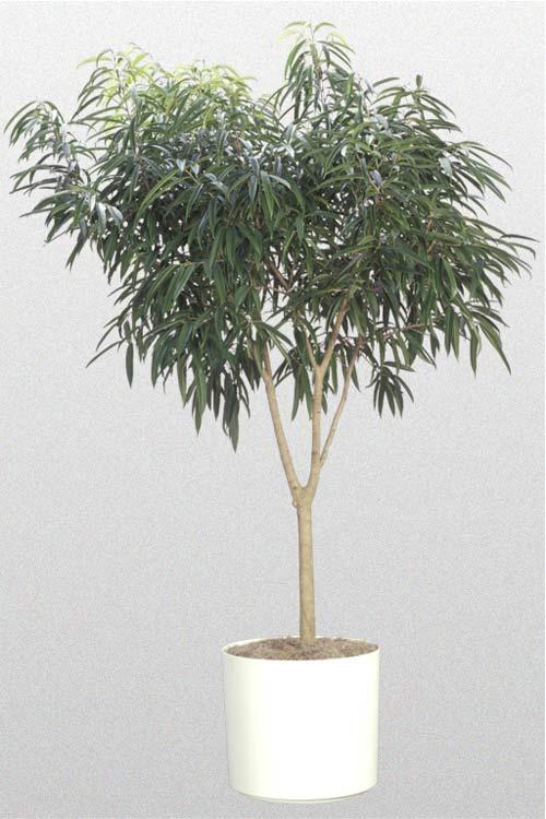 Ficus Alil - Standard
