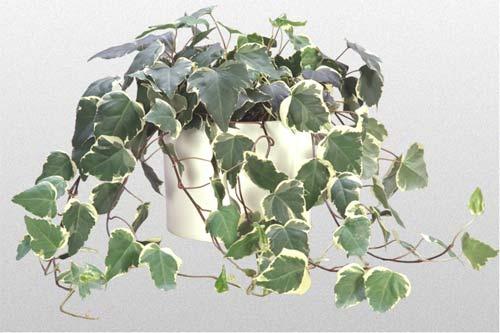 Ivy Algerian Var