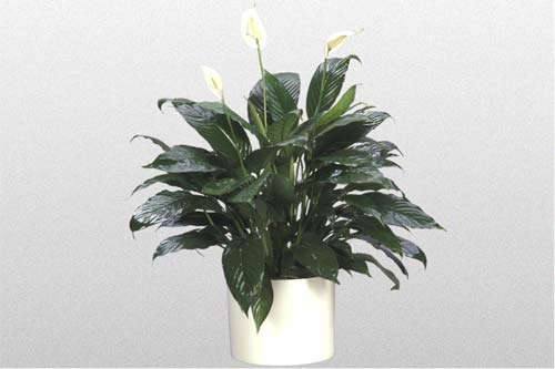 Spathiphyllum Taylors Green