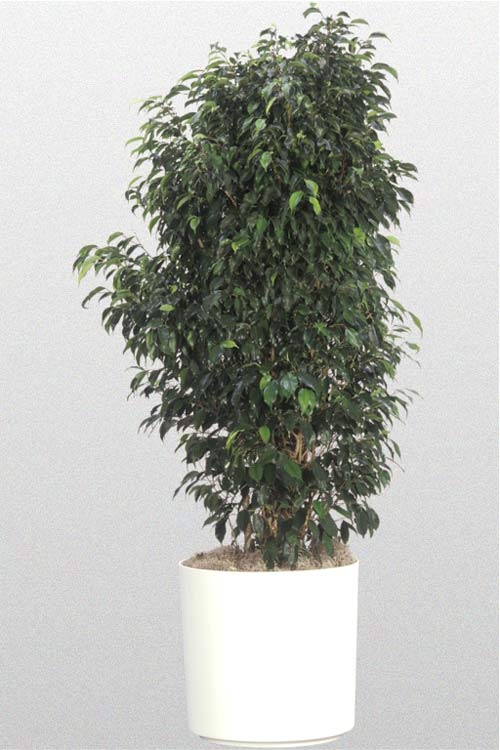 Ficus Benjamina Midnight Bush