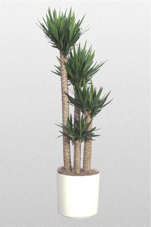 Yucca Spineless Cane